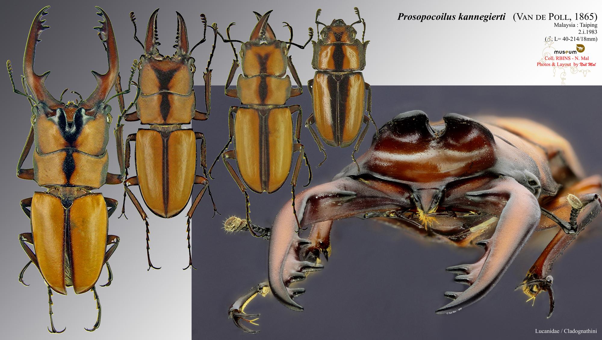 Prosopocoilus (Metopodontus) kannegieteri.jpg
