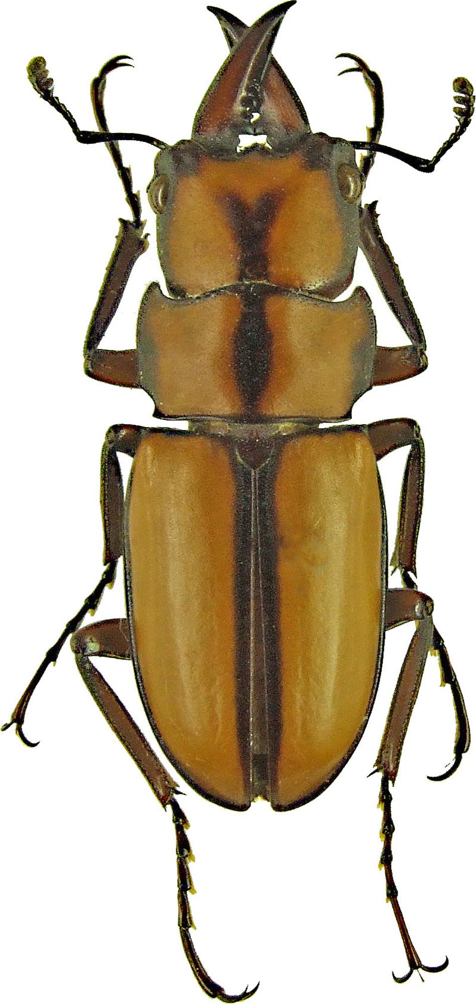 Prosopocoilus (Metopodontus) kannegieteri 1199.jpg