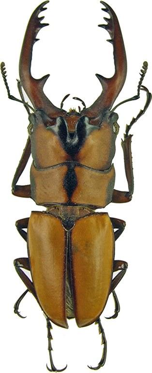 Prosopocoilus (Metopodontus) kannegieteri 1178.jpg