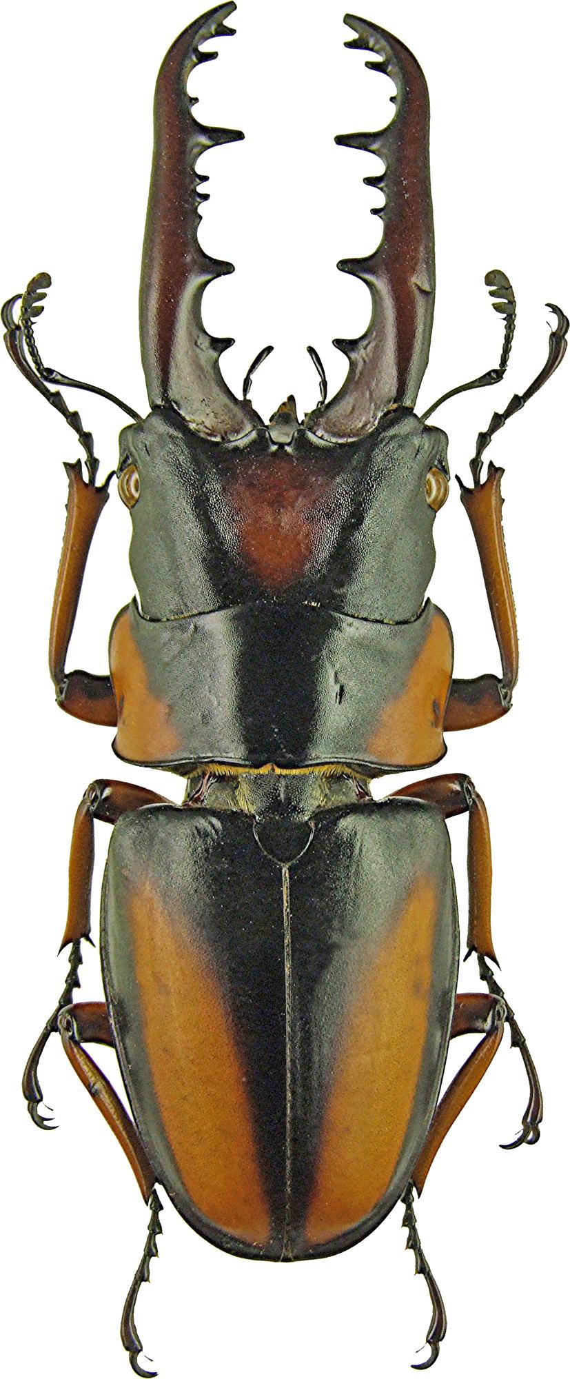 Prosopocoilus savagei 1191.jpg