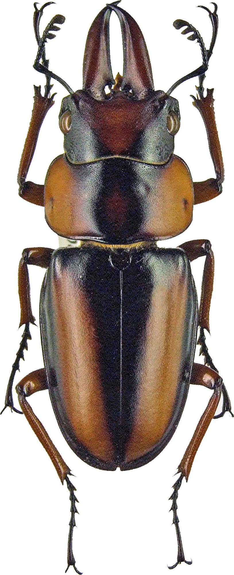 Prosopocoilus savagei 1193.jpg