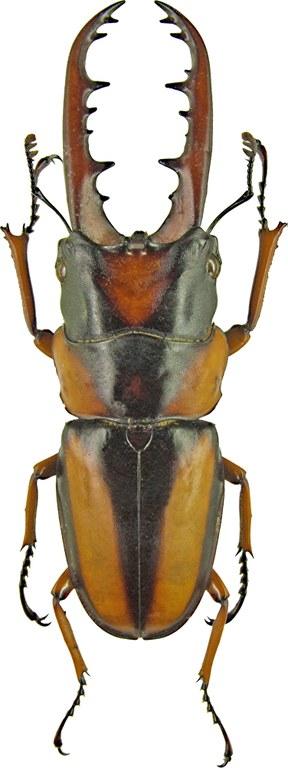 Prosopocoilus savagei 1192.jpg