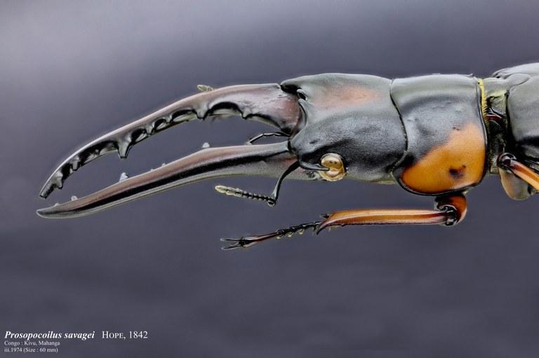 Prosopocoilus savagei 30625zs45.jpg