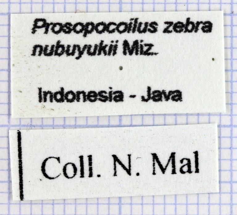 Prosopocoilus zebra nobuyukii 30539.jpg