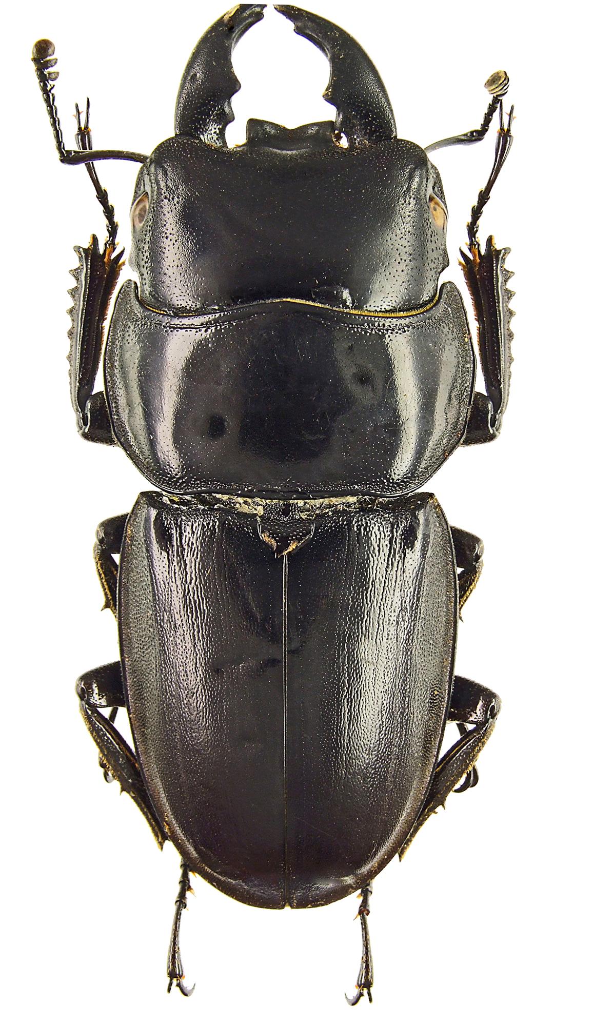 Serrognathus (Brontodorcus) alcides 43352cz54.jpg