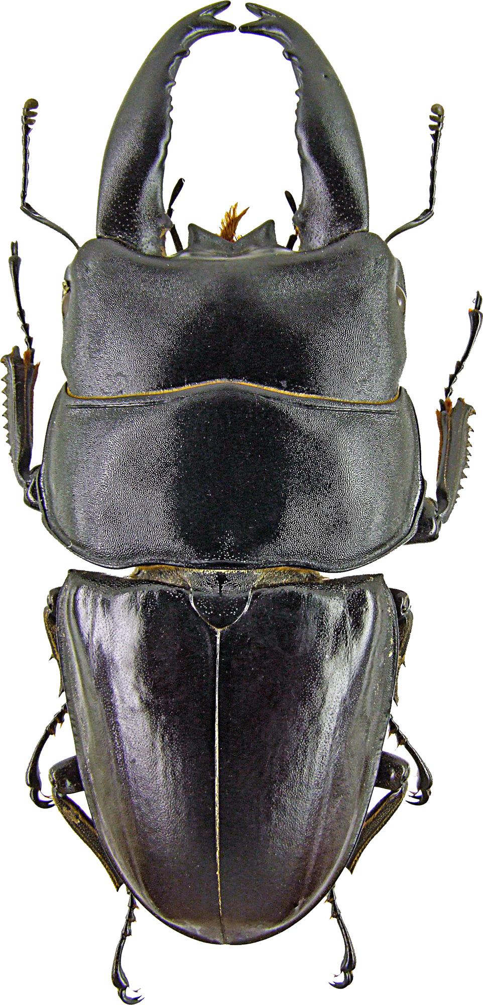 Serrognathus (Brontodorcus) alcides1367.jpg