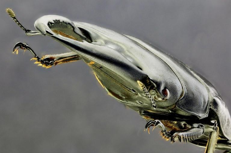 Serrognathus (Brontodorcus) alcides 30204zs35.jpg