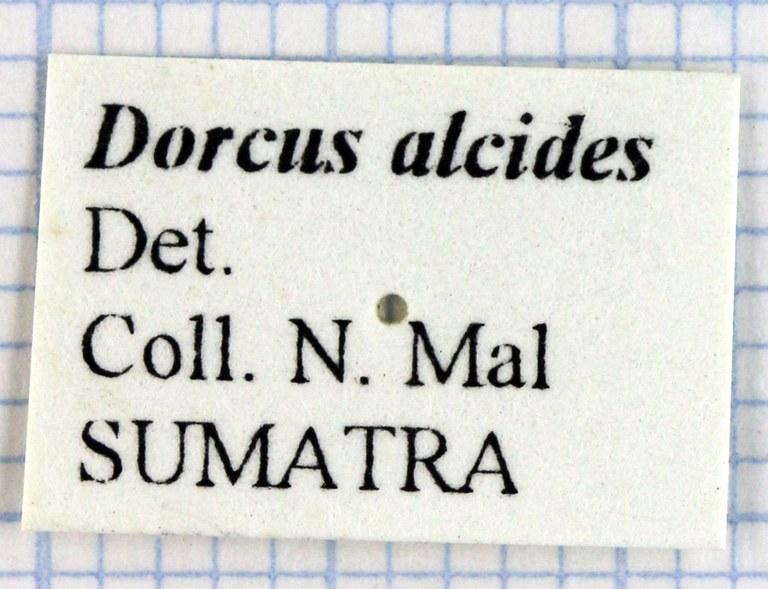 Serrognathus (Brontodorcus) alcides 30236.jpg