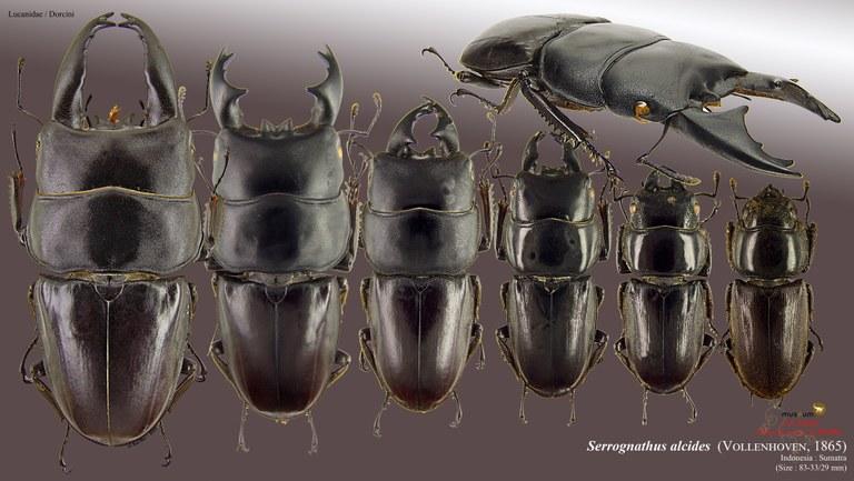 Serrognathus (Brontodorcus) alcides.jpg