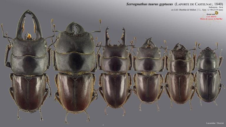 Serrognathus (Lasiodorcus) taurus gypaetus.jpg