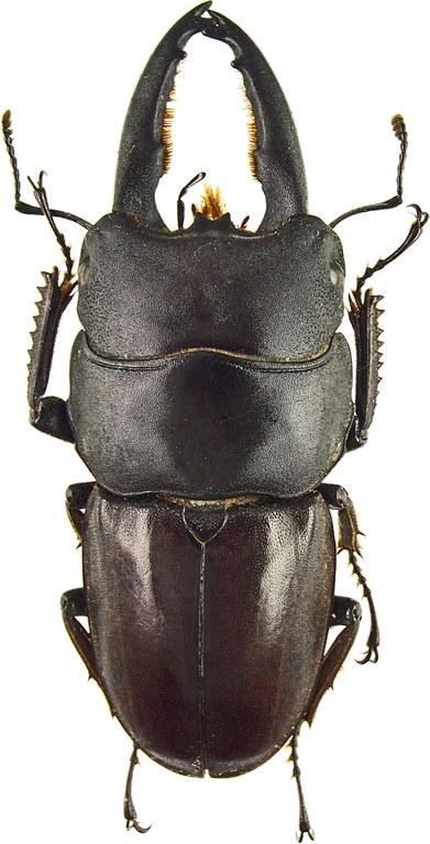 Serrognathus (Lasiodorcus) taurus gypaetus 43388cz90.jpg