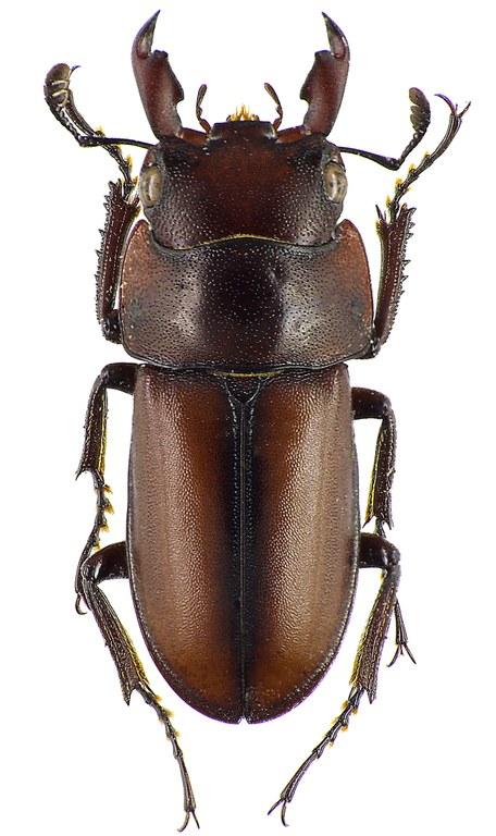 Macrodorcus elegantulus 43459cz62.jpg
