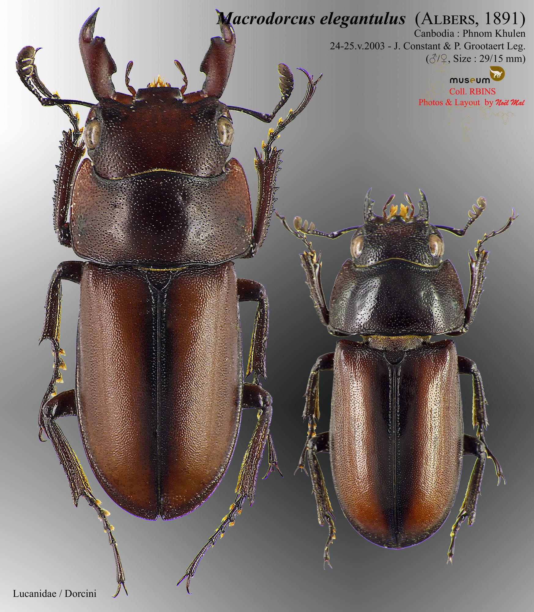 Macrodorcus elegantulus.jpg