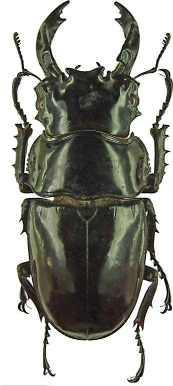Mesotopus tarandus 1216.jpg