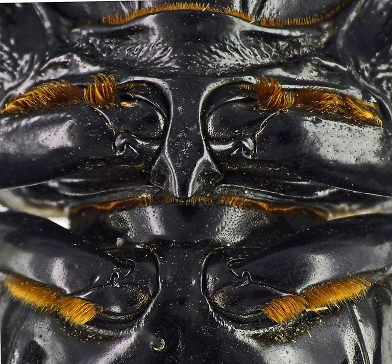 Mesotopus tarandus 44528cz31.jpg