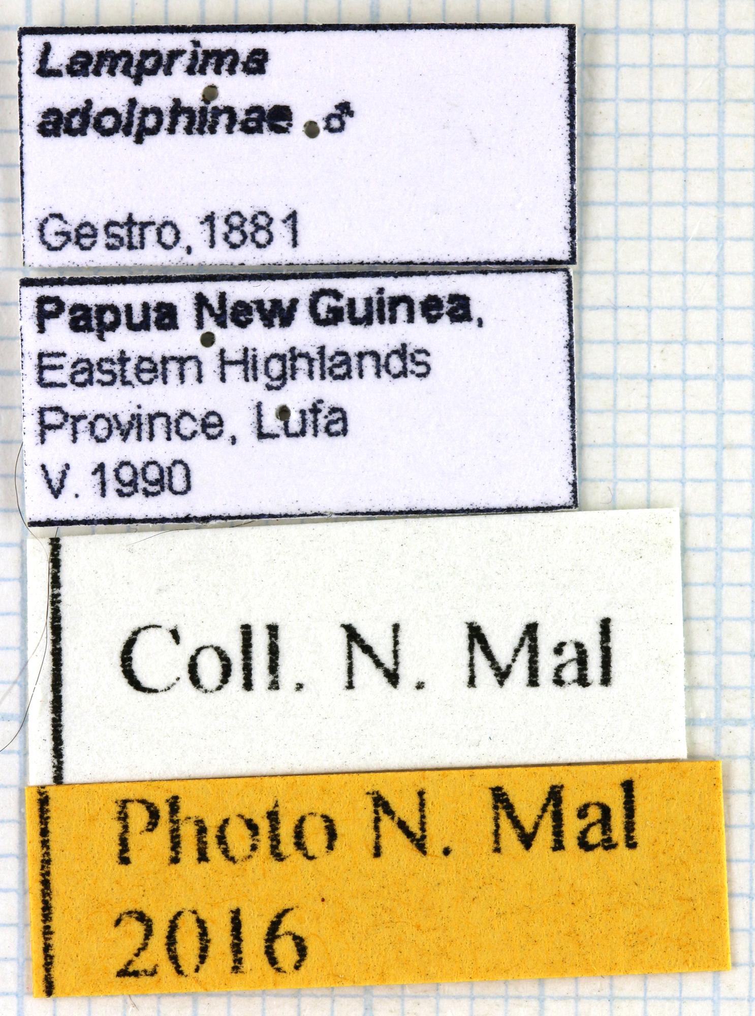 Neolamprima adolphinae 67991.jpg