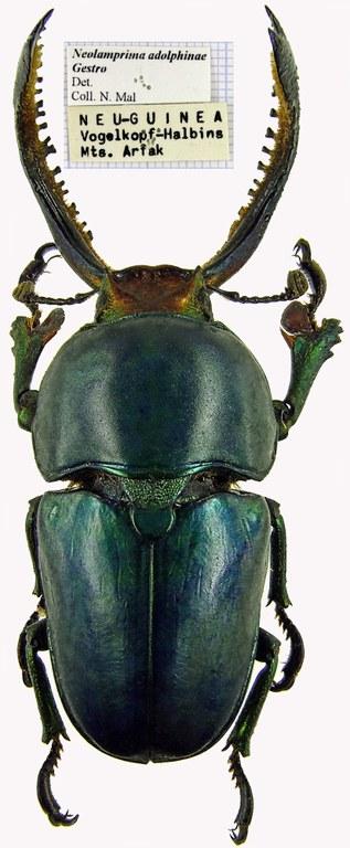 Neolamprima adolphinae 1387cz94.jpg