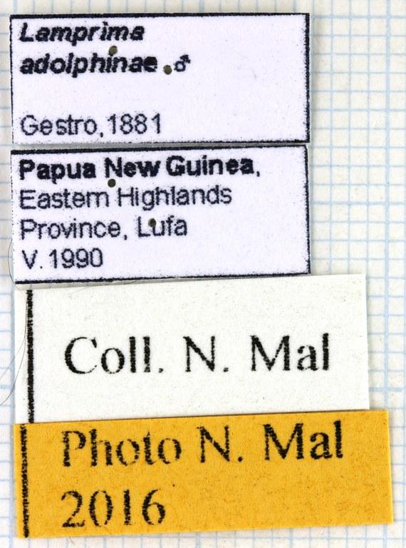 Neolamprima adolphinae lab 67991.jpg