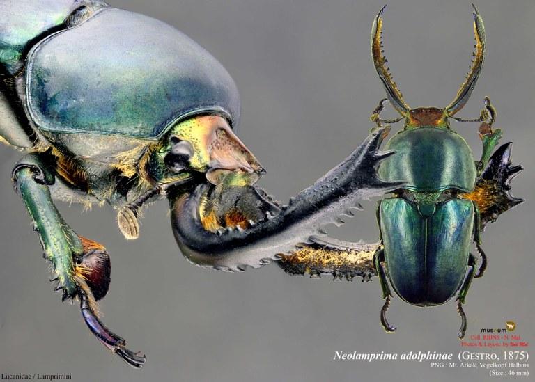 Neolamprima adolphinae.jpg