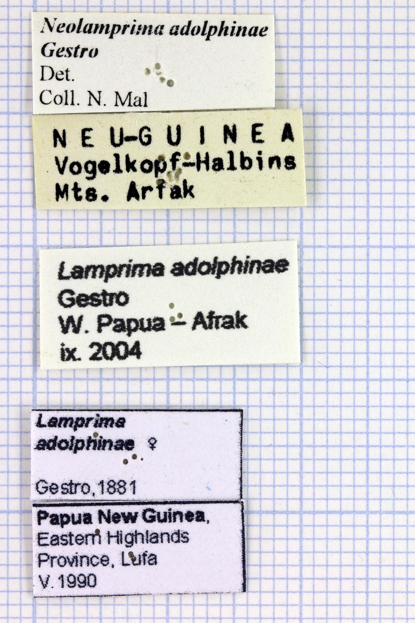 Neolamprima adolphinae lab.jpg