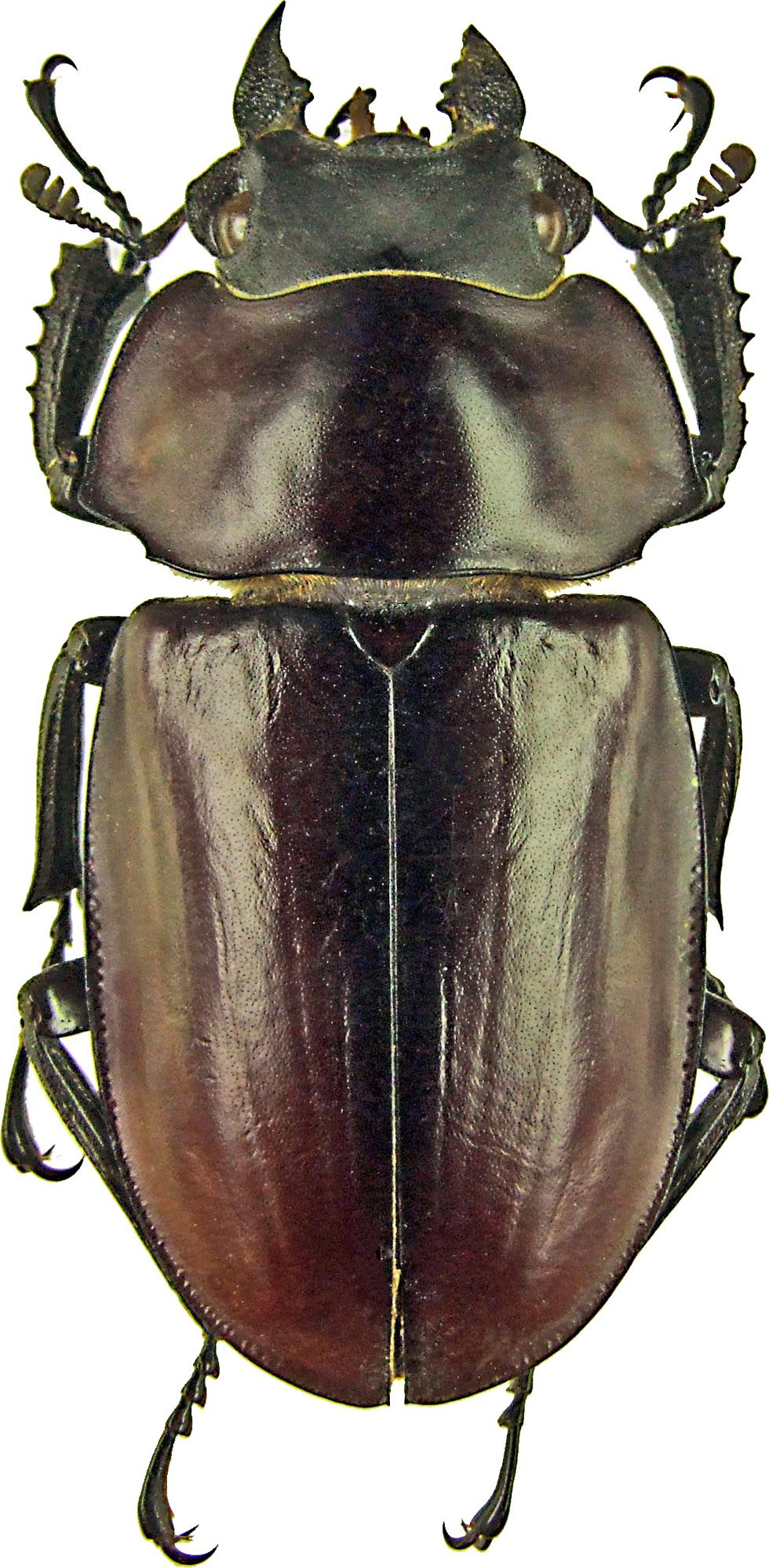Neolucanus lama 1210.jpg