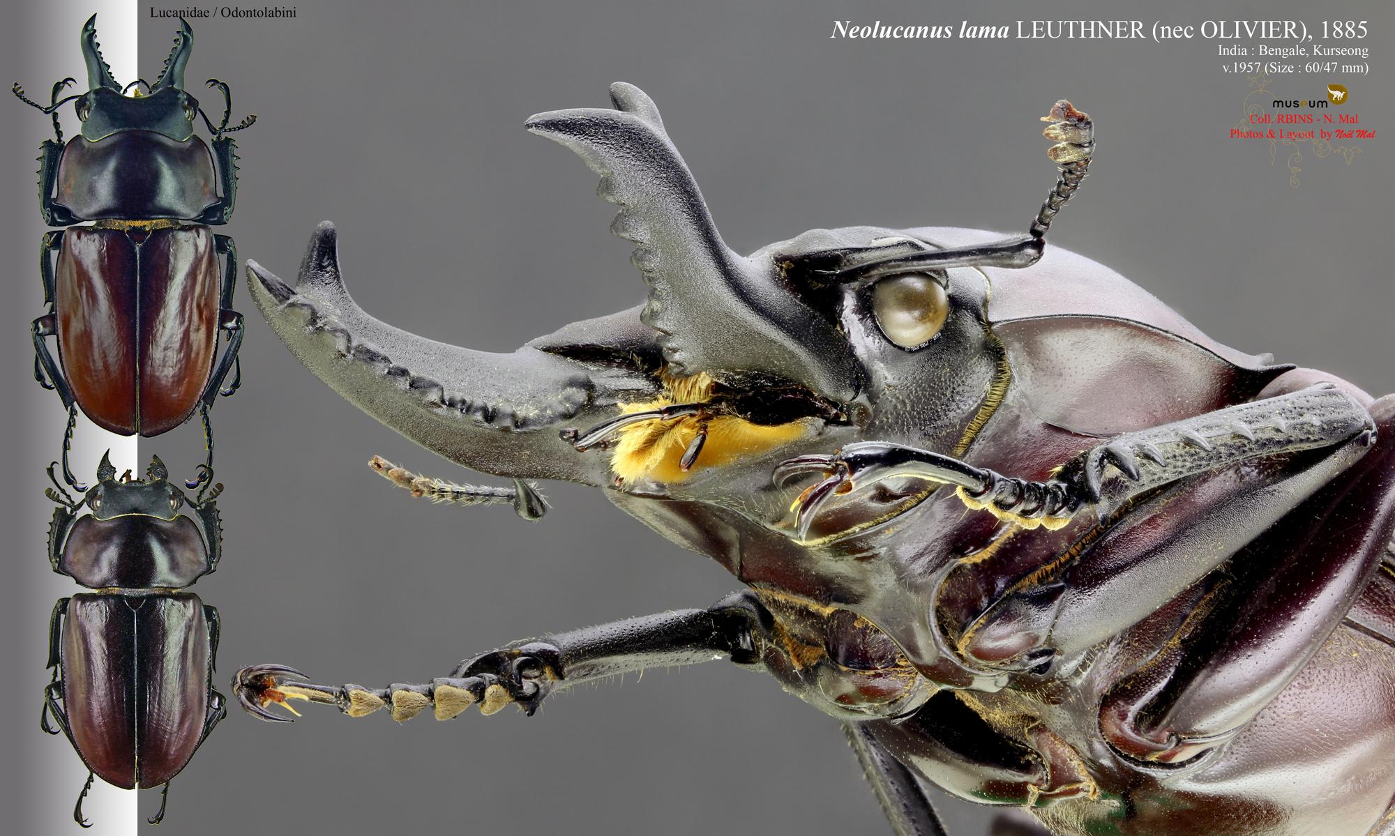 Neolucanus lama .jpg