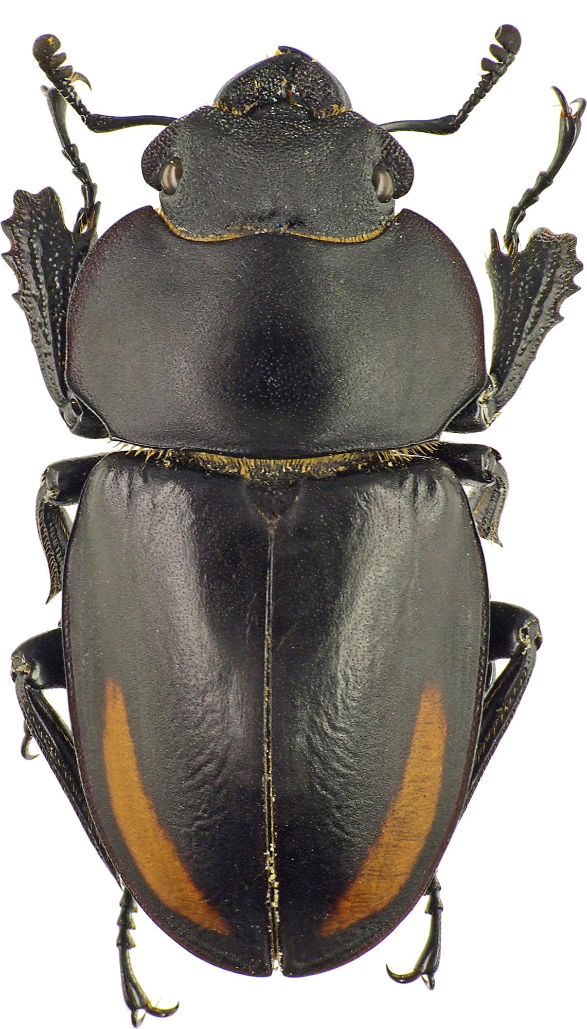 Neolucanus oberthueri oberthueri 42959cz61.jpg