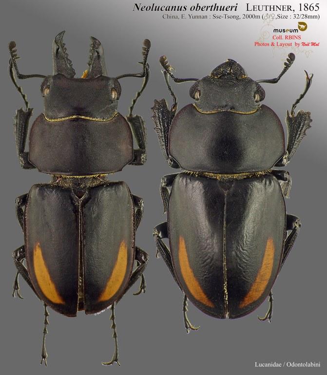 Neolucanus oberthueri oberthueri.jpg