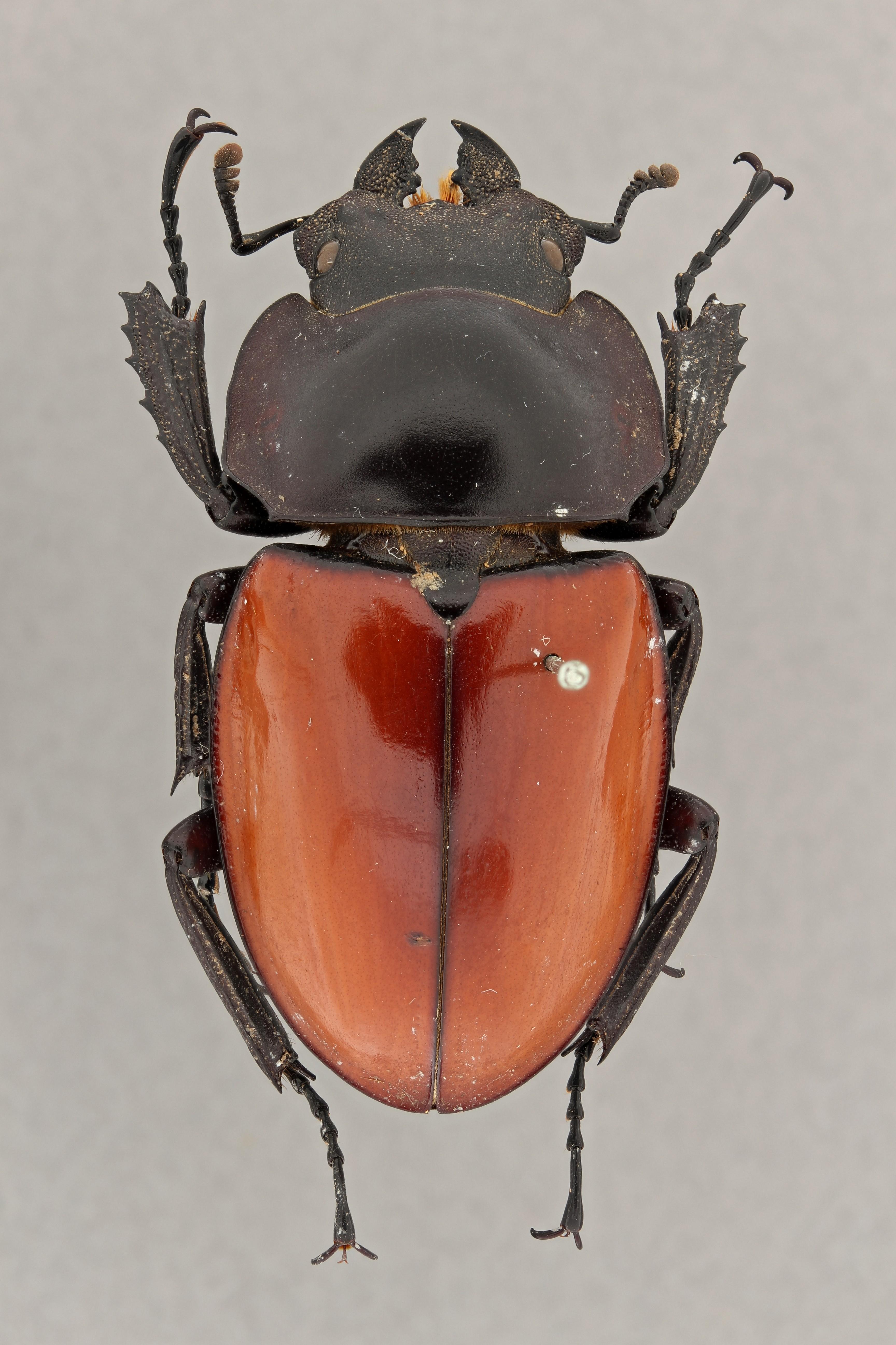 Neolucanus swinhoei typ D ZS PMax.jpg