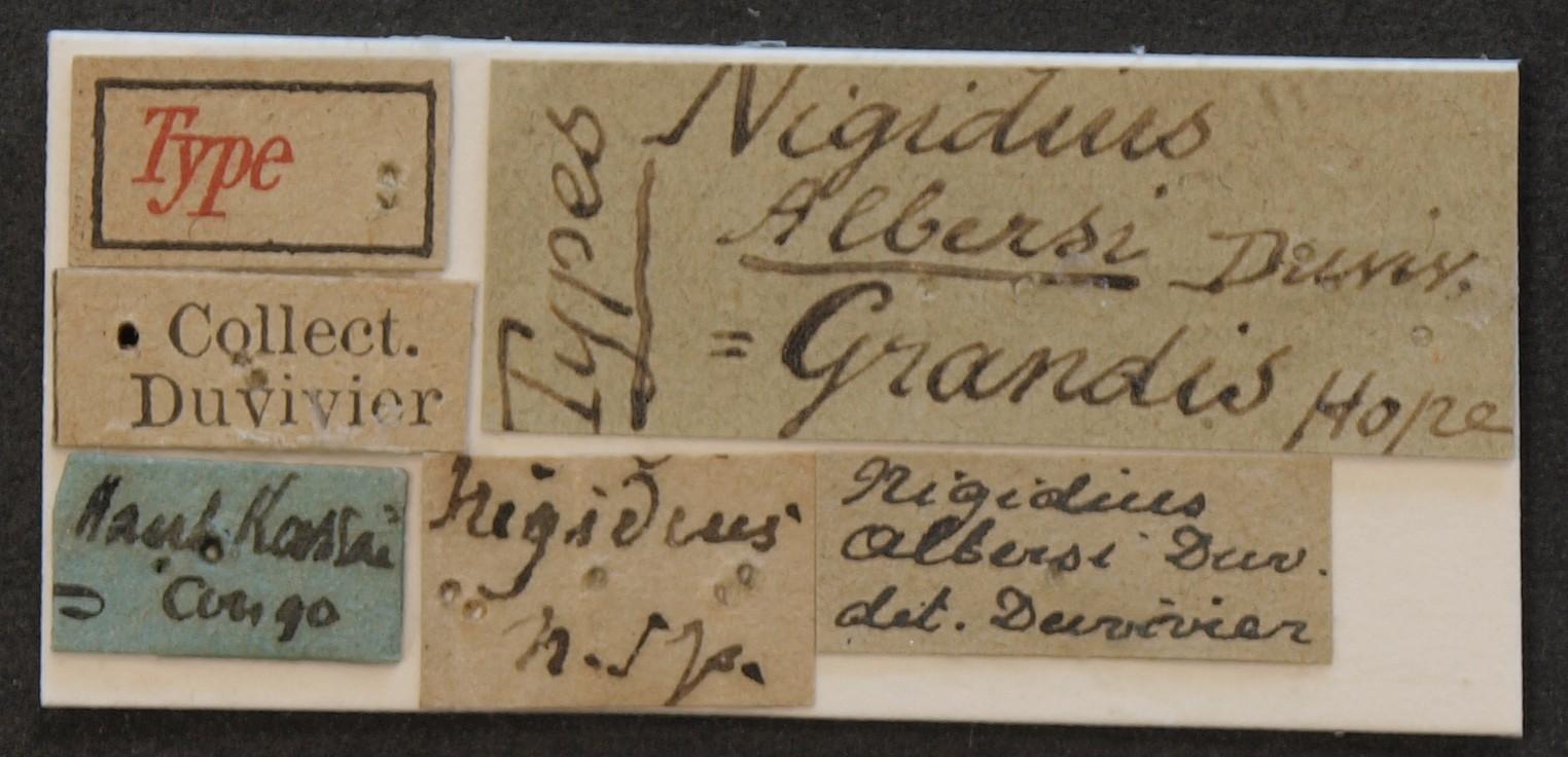Nigidius albersi typ Lb.JPG