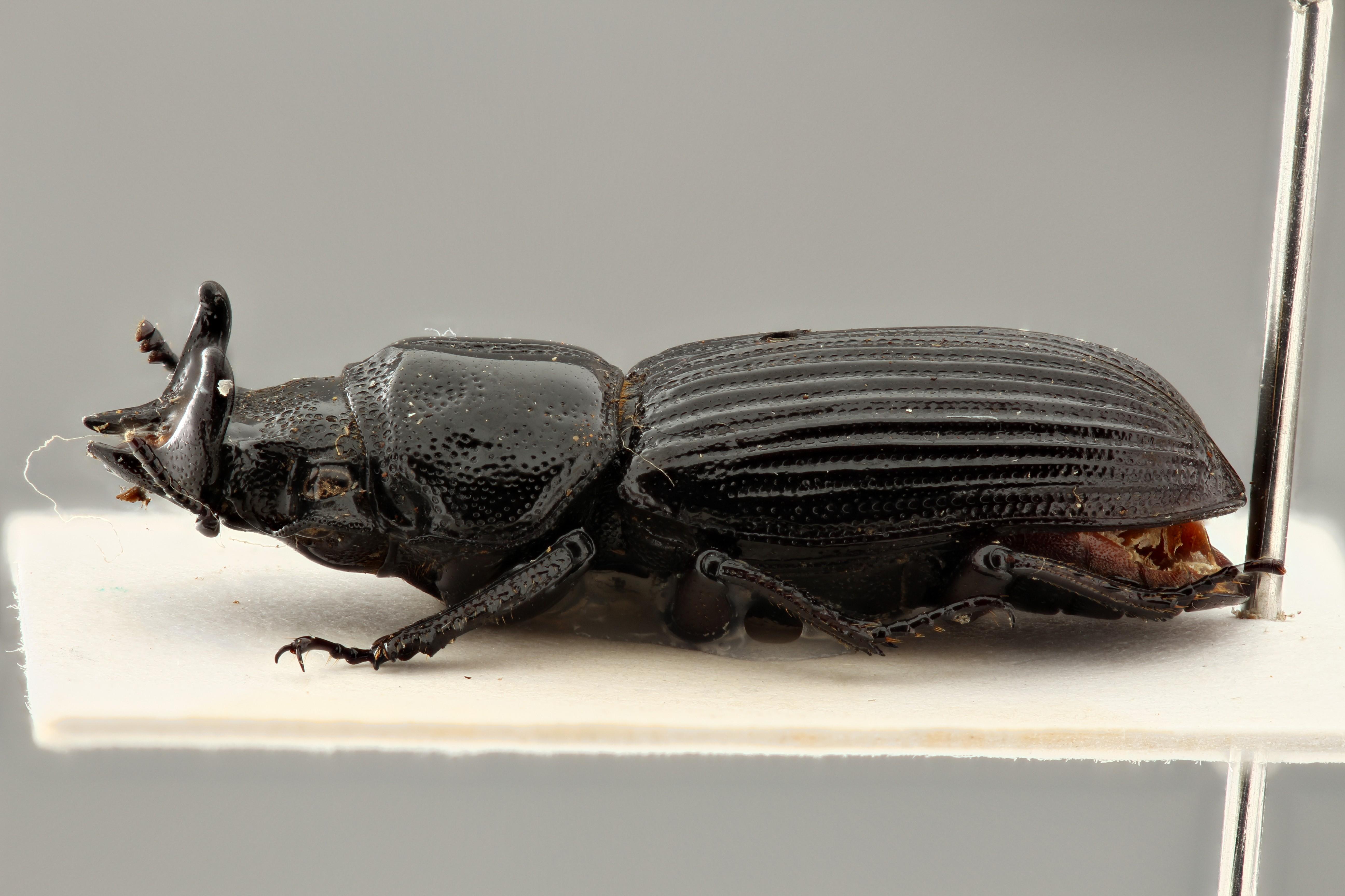 Nigidius decellei pt L ZS PMax.jpg