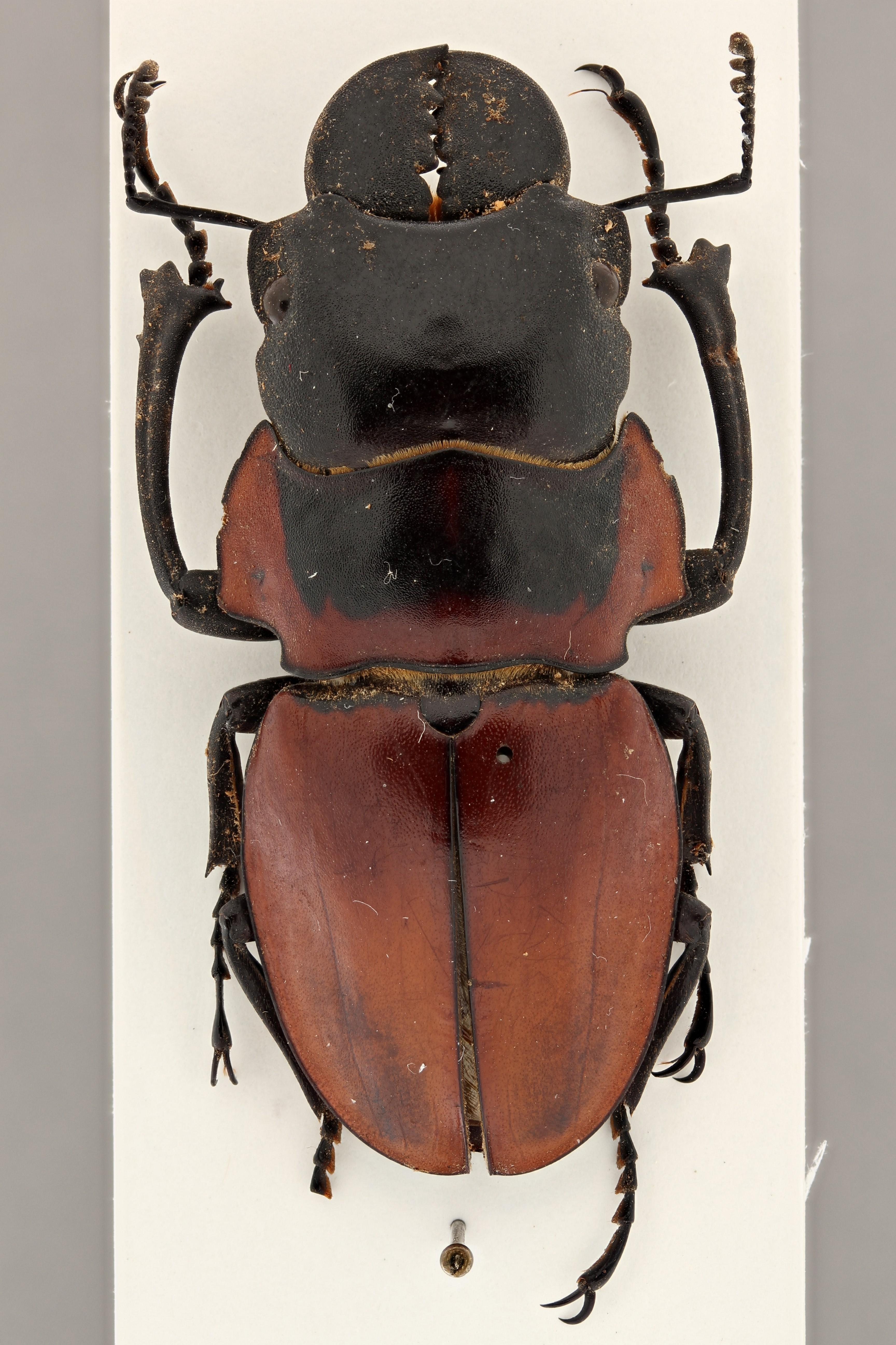 Odontolabis brookeanus coussementi ht D ZS PMax.jpg