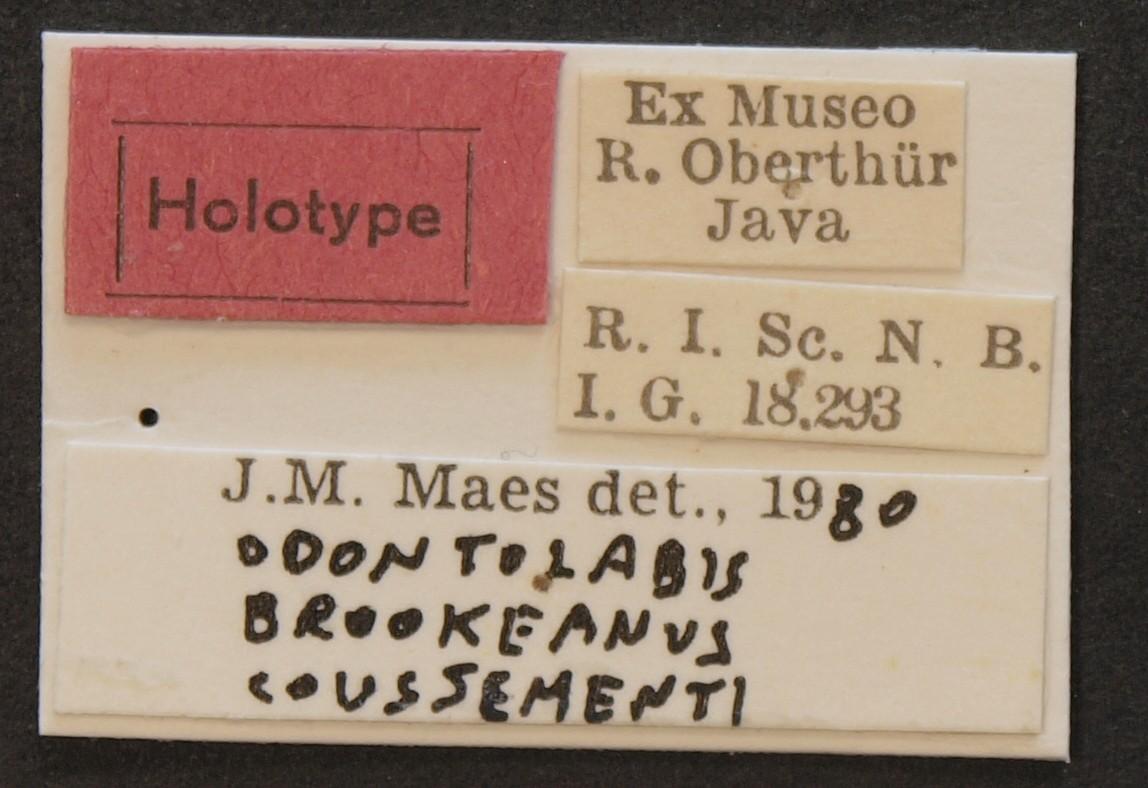 Odontolabis brookeanus coussementi ht Lb.JPG
