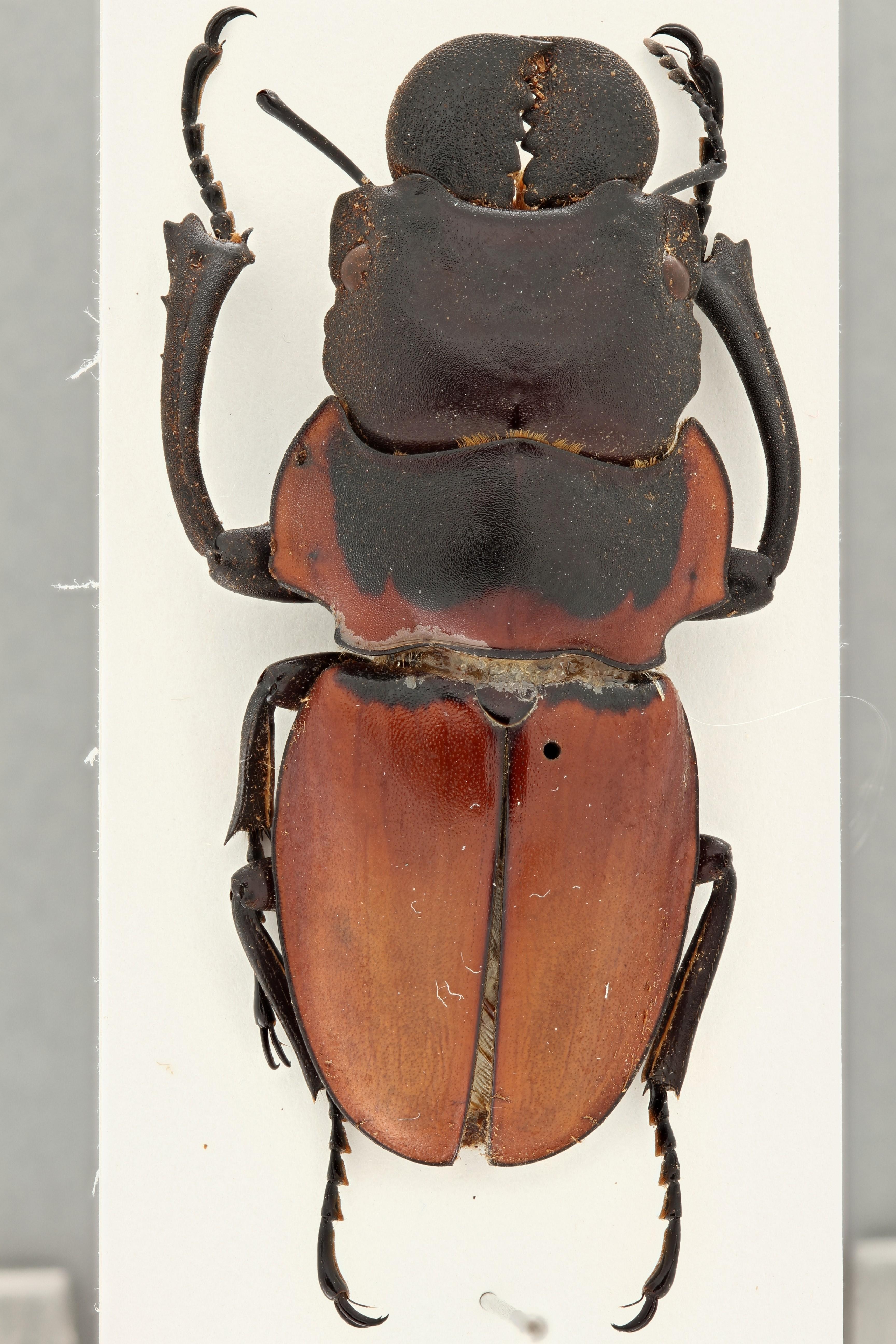 Odontolabis brookeanus coussementi pt D ZS PMax.jpg
