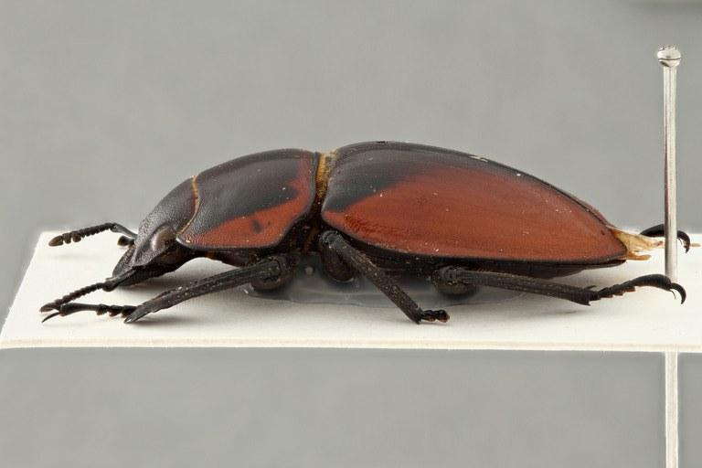 Odontolabis brookeanus coussementi alt l zs pmax.jpg
