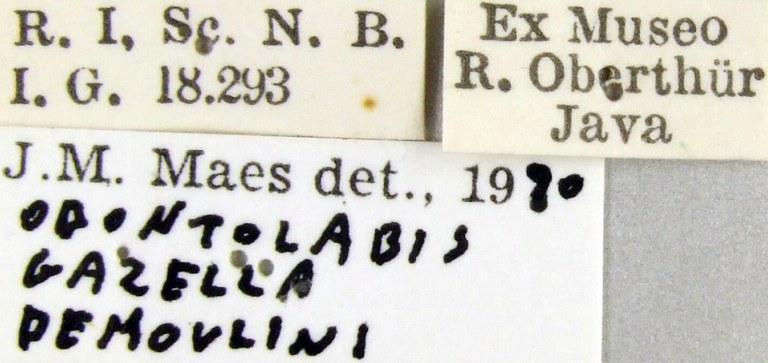 Odontolabis gazella demoulini 43076.jpg