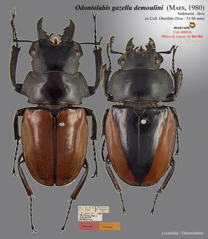 Odontolabis gazella demoulini.jpg