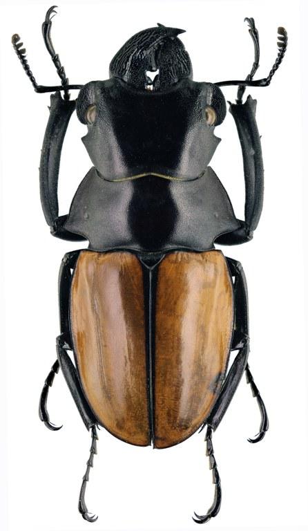 Odontolabis gazella 30020zs27.jpg