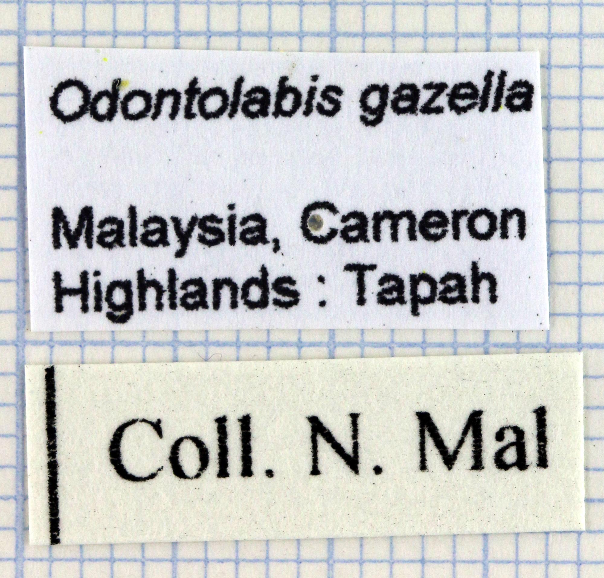 Odontolabis gazella Lb 30019.jpg