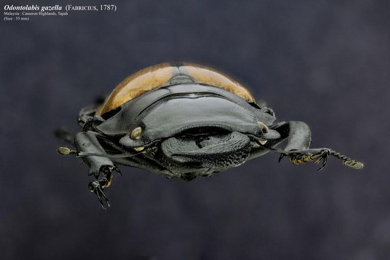 Odontolabis gazella .jpg