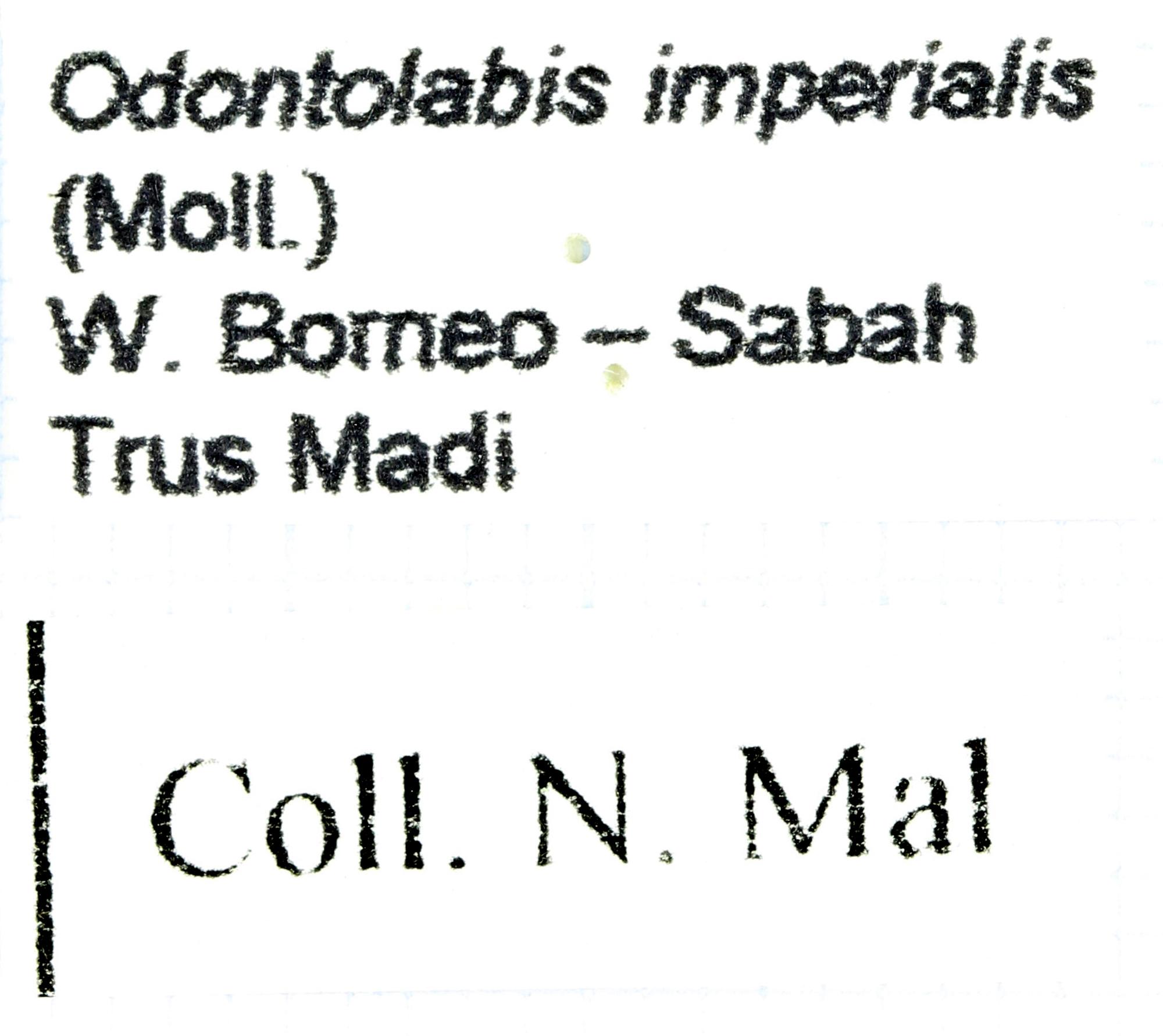 Odontolabis imperialis 29924.jpg