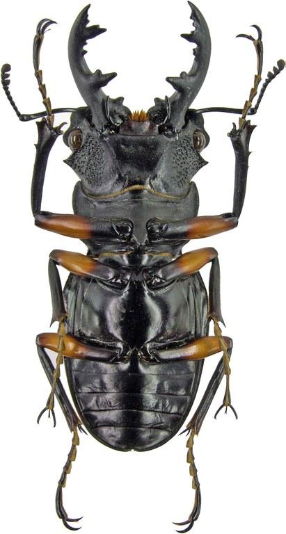 Odontolabis imperialis 4215.jpg
