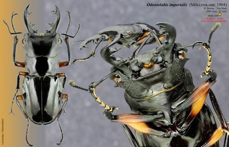 Odontolabis imperialis.jpg