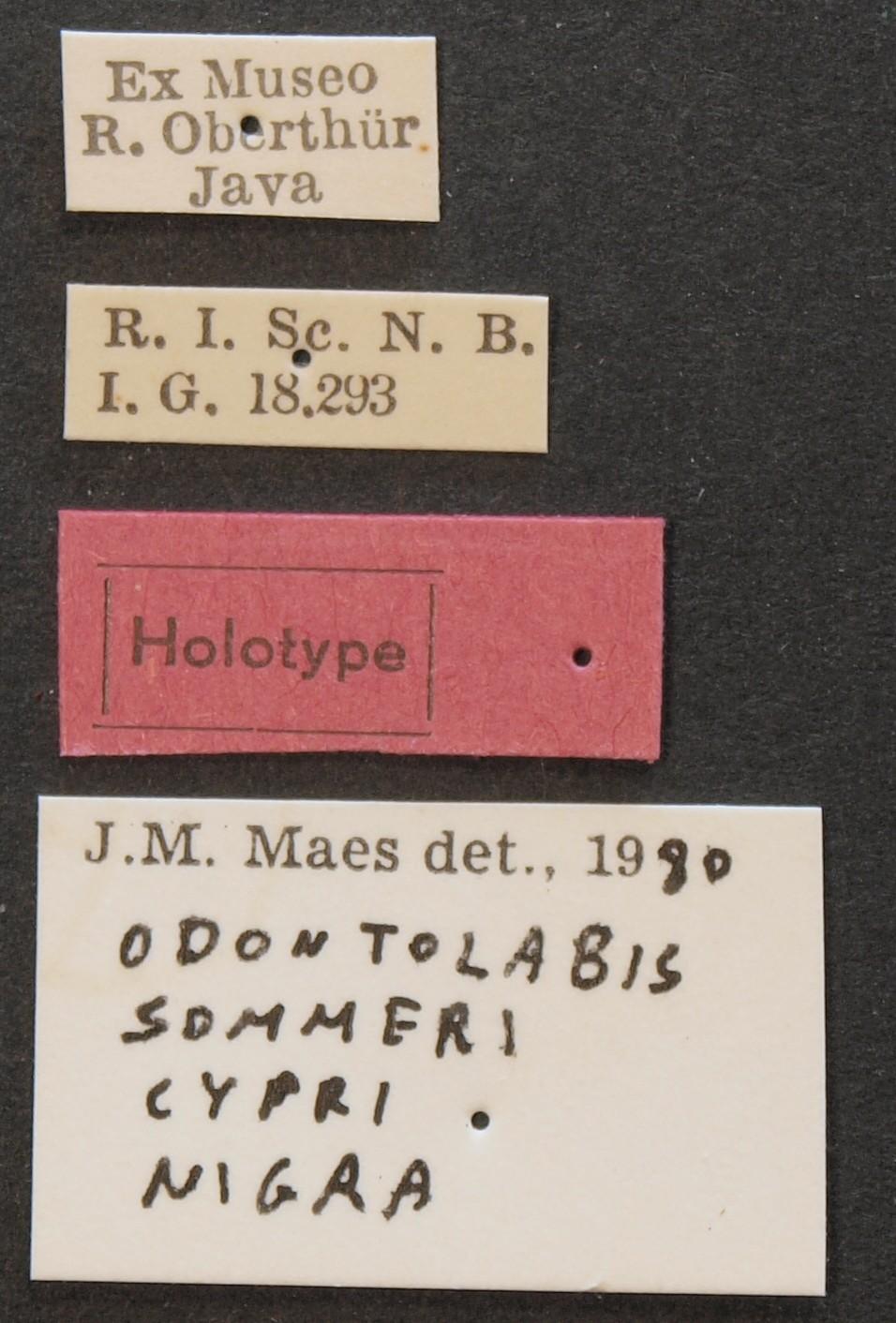 Odontolabis lowei cypri nigra ht Lb.JPG