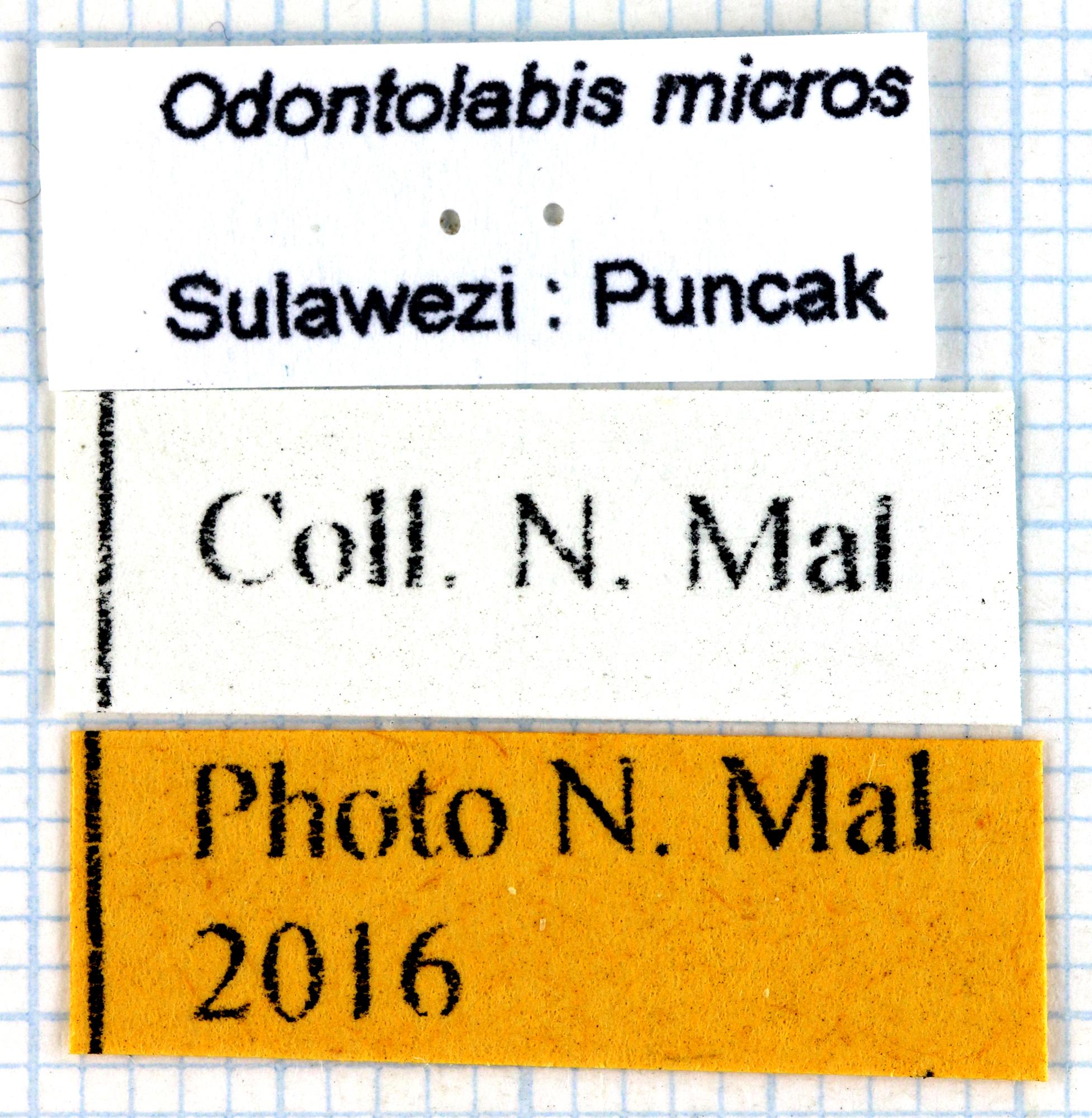 Odontolabis micros 68124.jpg