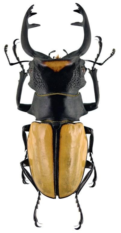 Odontolabis spectabilis 29997zs03.jpg