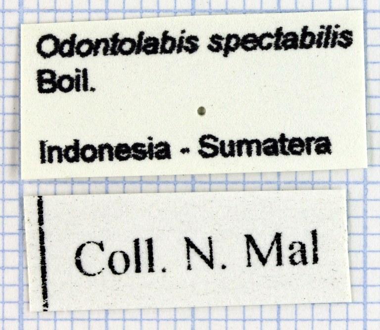 Odontolabis spectabilis Lb 29996.jpg