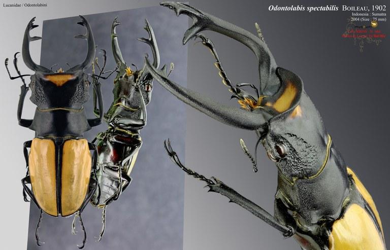 Odontolabis spectabilis.jpg