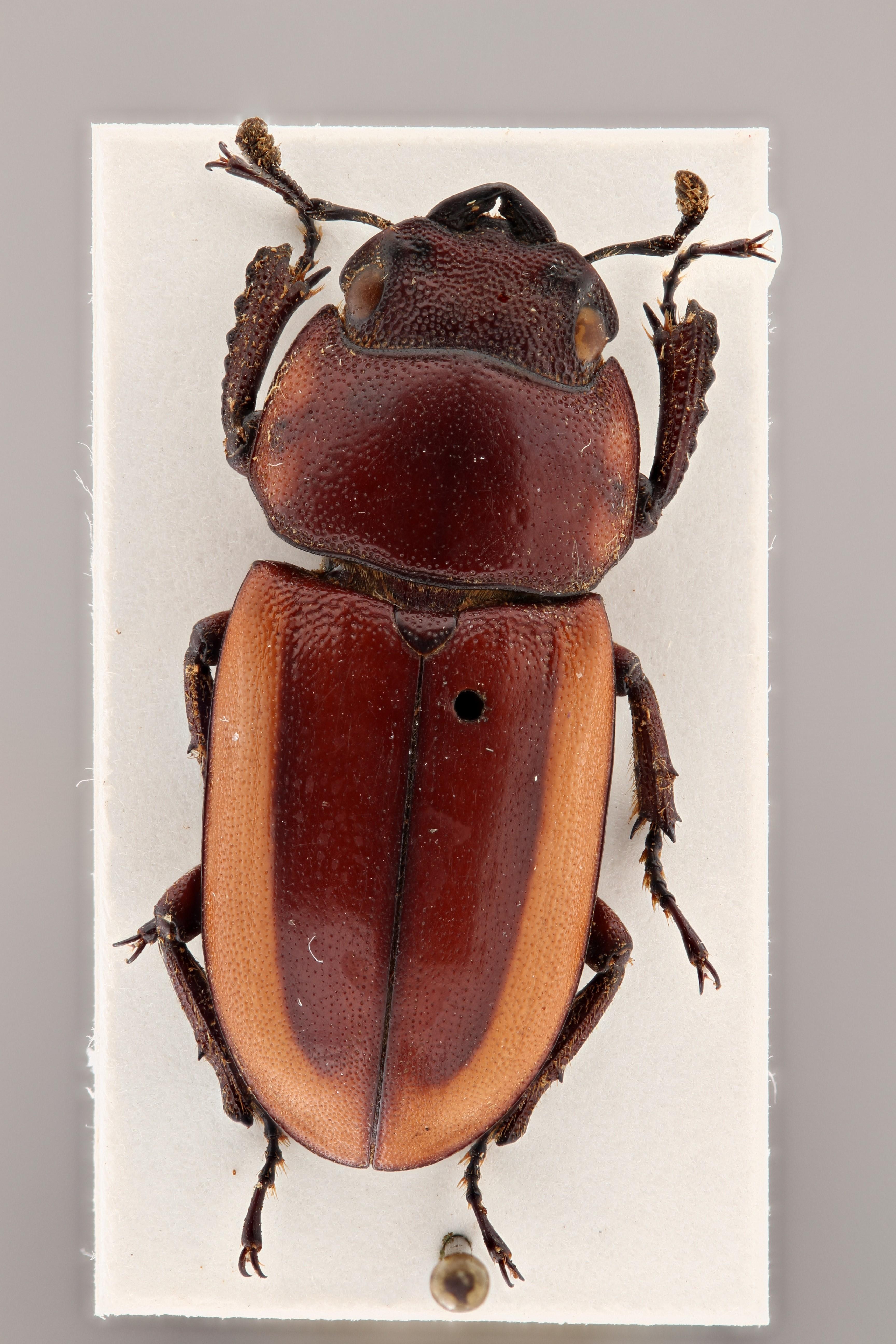 Prosopocoelus lorquini fulva ht D ZS PMax.jpg