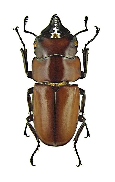 Prosopocoilus antilope 1182.jpg